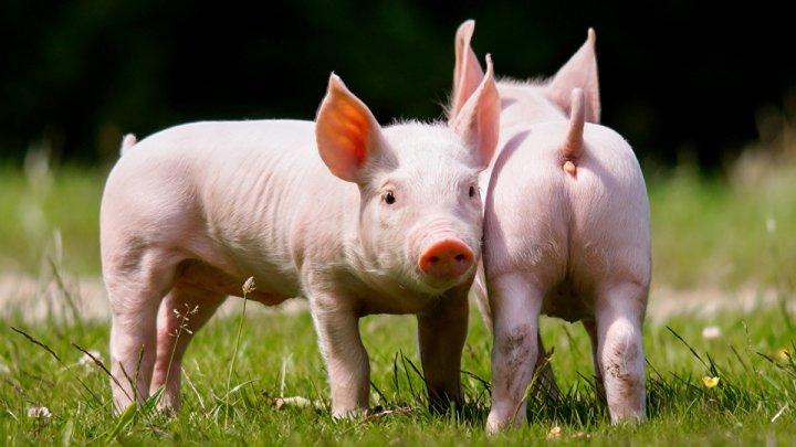 Huawei анонсировала платформу для выращивания свиней