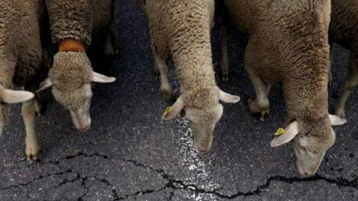 Между селами Светлый и Конгаз автомобиль наехал на отару овец: более 20 животных погибло