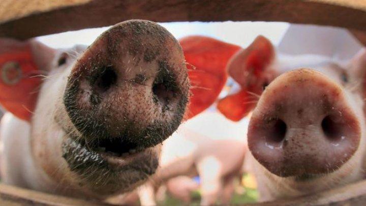 На рынках Комрата временно запретят продажу свинины