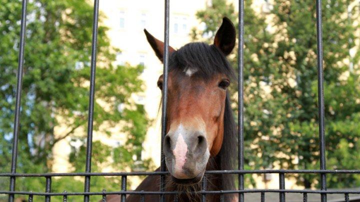 Даже в троллейбус зашла: по Петербургу неделю бродит бесхозная лошадь (ВИДЕО)