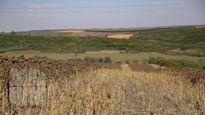 Молдавские фермеры приступили к сбору урожая подсолнечника (фоторепортаж)