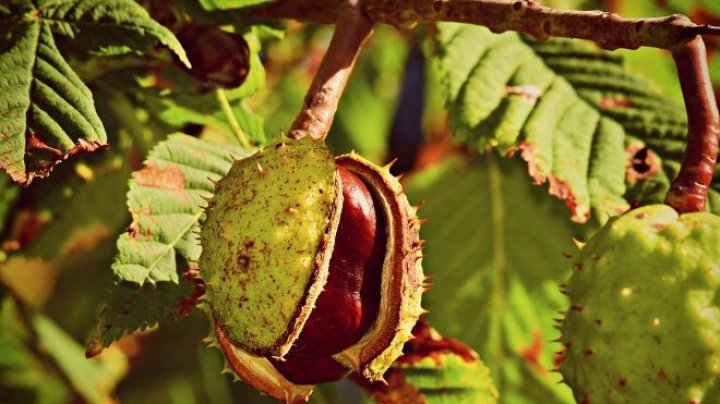Каштан внесли в официальный список вымирающих деревьев Европы