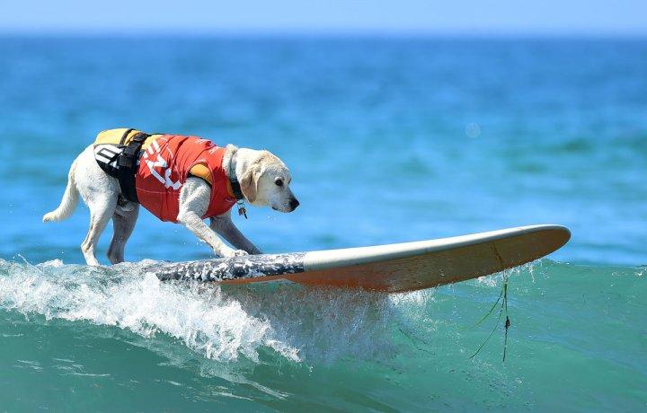 В США состоялся фестиваль собак-серфингистов (фото)