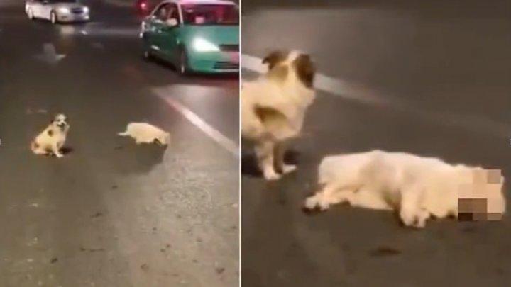 Душераздирающие кадры: в Китае пес три часа не отходил от умирающего друга (ВИДЕО)