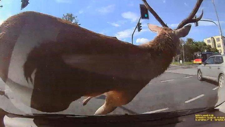 Крупный олень атаковал учебную машину в Польше