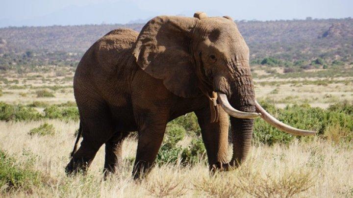 В Кении умер самый известный африканский слон