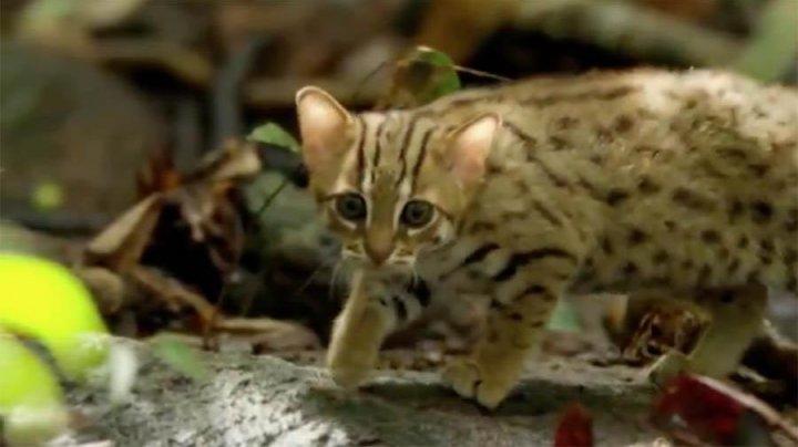 Самого маленького кота в мире показали на видео