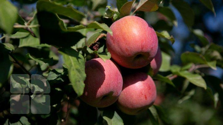 Богатый урожай яблок в Молдове: какие советы дают фермерам профильные организации