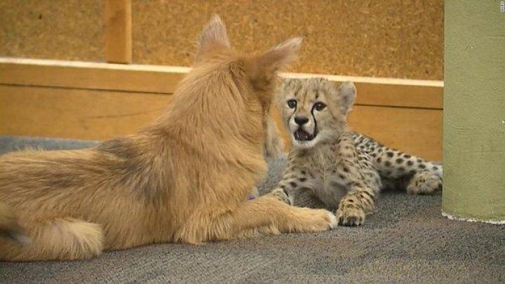 Одинокий детеныш гепарда подружился с собакой: милые фото и видео