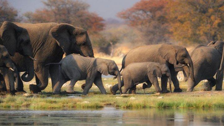 Слоны погибли, спасая сородича (ВИДЕО)