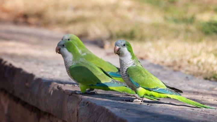В Мадриде открыли охоту на шумных попугаев