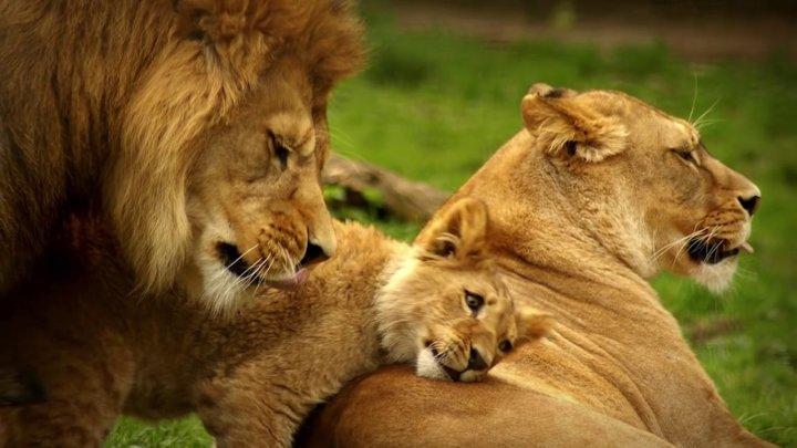 В Танзании львов возьмут под охрану аборигены