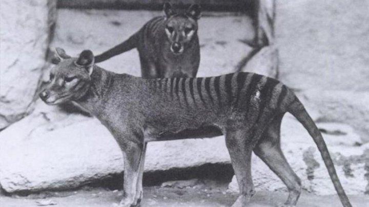 В Австралии заметили следы вымершего тасманского волка