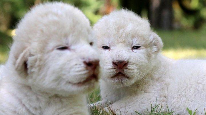 В Китае родились белые львята