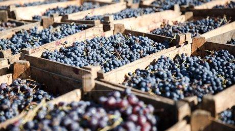 В столице проходит ярмарка по продаже винограда: продукцию представили три десятка фермеров