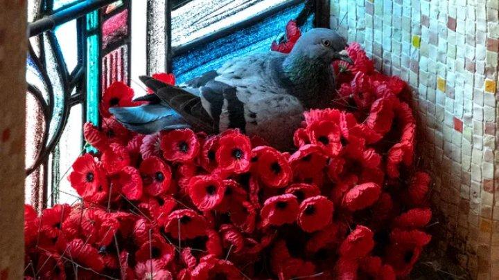 """Дерзкое """"преступление"""" в Австралии: голубь свил гнездо из маков с могилы Неизвестного солдата (ФОТО)"""
