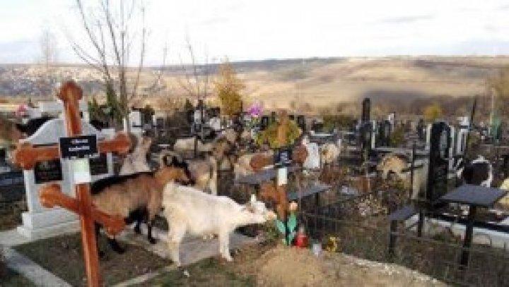 """Осквернение могил или простая случайность: на """"Дойне"""" заметили праздно гуляющих коз"""