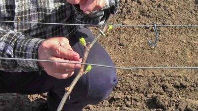 Теплая зима вмешалась в планы виноградарей: фермеры вышли на подвязку лозы