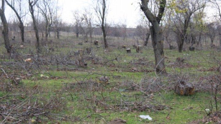 В селе на юге Молдовы тайком срубили почти 300 здоровых деревьев