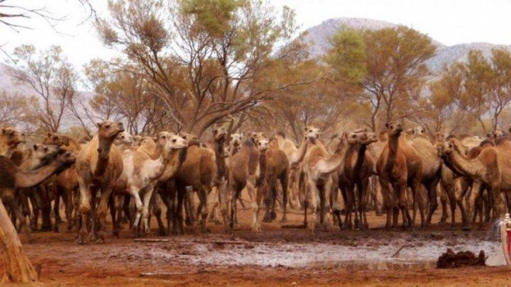 """В Австралии убьют 10 тысяч верблюдов, чтобы сократить их """"слишком большую"""" популяцию"""