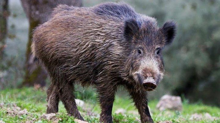 """Вспышка свиной чумы в заповеднике """"Пэдуря домняскэ"""": на территории найдены 35 мертвых кабанов"""
