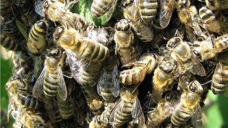 Нидерландские учёные научили пчёл определять коронавирус по запаху
