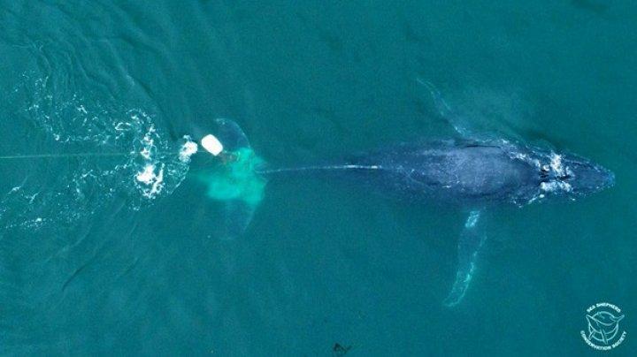 У берегов Мексики спасли горбатого кита, попавшего в сети браконьеров