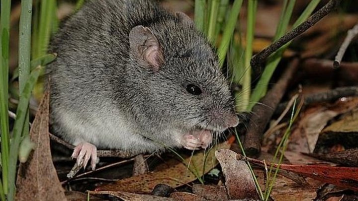В Австралии лесные пожары уничтожили один из видов млекопитающих, занесенных в Красную книгу