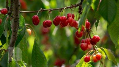 Праздник черешни в Яловенском районе: сколько стоит килограмм фруктов на ярмарке
