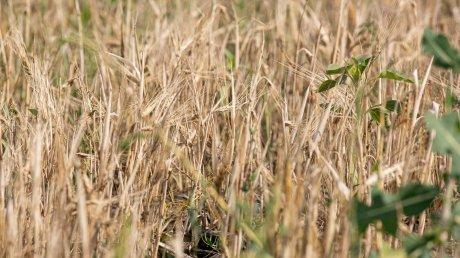 """Молдавские аграрии ожидают хороший урожай пшеницы: """"Цена останется на уровне прошлогодней"""""""