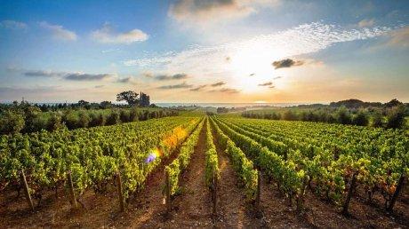 Будущий урожай винограда - под угрозой: фермеры не успевают обрабатывать лозы
