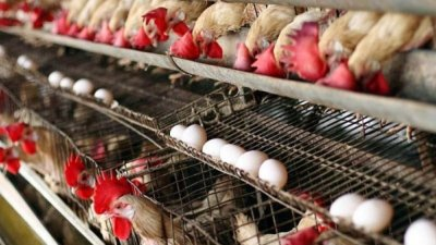 Экспорт мяса птицы и яиц в ЕС заблокирован. У Молдовы нет необходимых аккредитаций