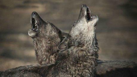 Стая волков держит в страхе жителей села Слобозия-Мэгура