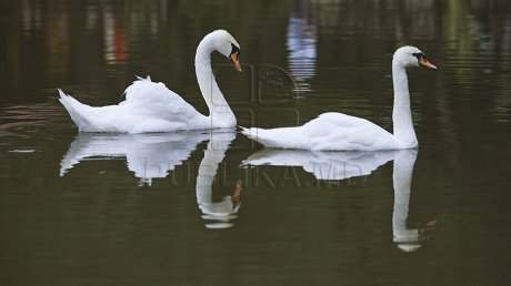 Кишинёвский зоопарк приютил двух спасённых лебедей