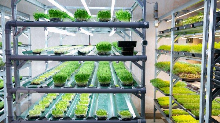 Выращивание микрозелени в Кишинёве (ФОТОРЕПОРТАЖ)