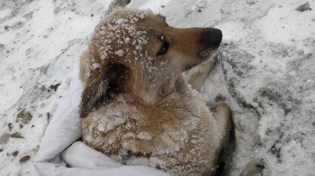 Добрые люди спасли вмерзшую в лед собаку, сбитую поездом