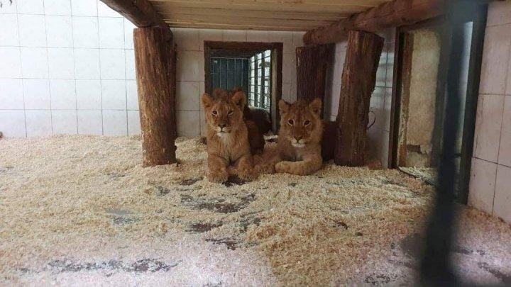 В Кишиневский зоопарк привезли четырех африканских львов