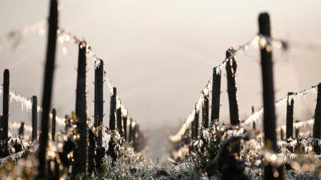 Трагедия для французских виноделов: из-за заморозков пострадали 80% виноградников