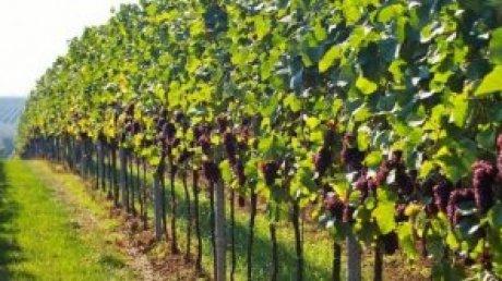 Лучшее домашнее: секрет успеха винодела из села Питушка