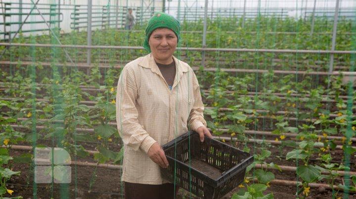 Сезон первых молдавских огурцов из теплиц открыт: фермеры жалуются, что им пришлось снизить цены
