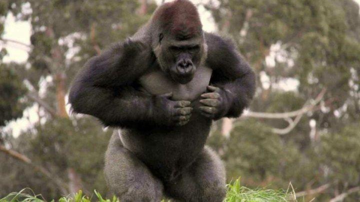 Зачем гориллы бьют себя в грудь - мнение учёных
