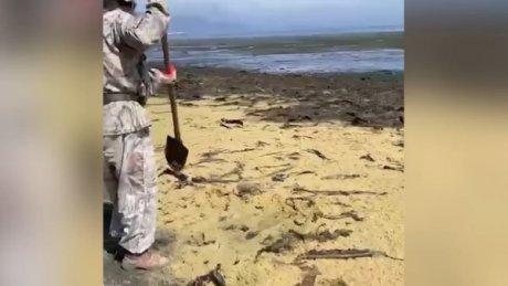 Побережье Сахалина завалило икрой: местные жители собирают её лопатами (ВИДЕО)