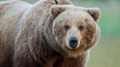 Косолапый вор: медведя подозревают в серии автомобильных краж в США