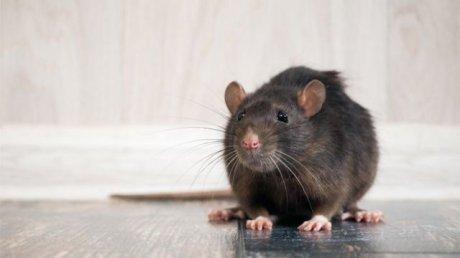 В Индии крысы проникли в банкомат и сгрызли несколько десятков тысяч купюр