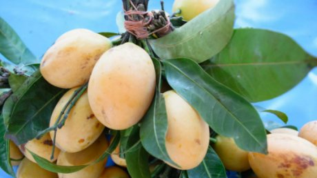Житель Индии нанял охрану для дерева: это одно из самых дорогих манго в мире
