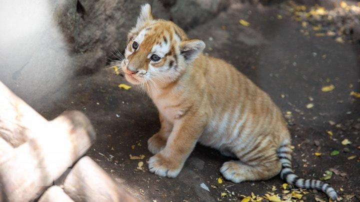 Бенгальский тигренок из кишиневского зоопарка показал злобный оскал (ФОТО)