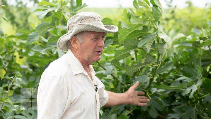 На прилавках появился молдавский инжир: экзотический фрукт пользуется у покупателей популярностью (FOTO)