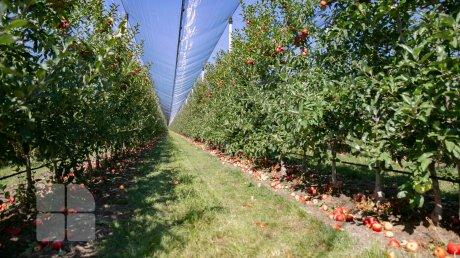 Сладковатые, сочные и полны витаминов: в Молдове начался сбор яблок летних сортов