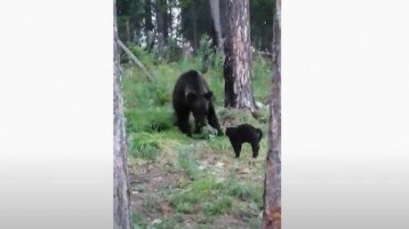 """""""Вася, успокойся"""": домашний кот из Якутии прогнал медведя в лесу (ВИДЕО)"""