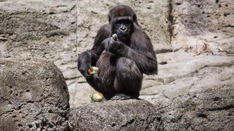 В зоопарке Атланты 18 из 20 горилл заразились коронавирусной инфекцией